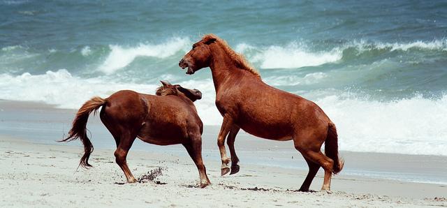 Ocean City Maryland Island Wild Horses
