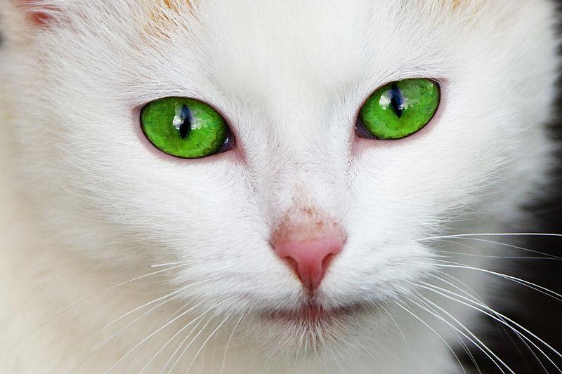 Die Sinnesorgane der Katzen - Tierfreund
