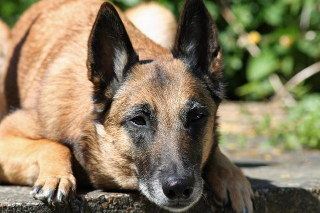 Belgischer Schaferhund Hunde Belgischer Schaferhund Schaferhunde Malinois Hund