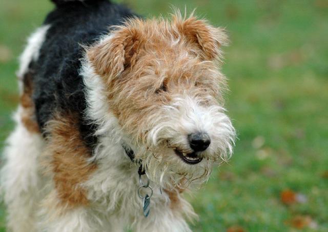 Dog Breed Fox Terrier