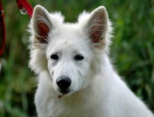 Rassehund - Weißer Schweizer Schäferhund