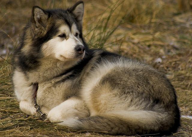 Dog Breed Grey Blue Eyes