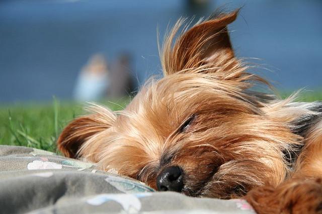 Yorkshire Terrier Rassebeschreibung Wesen Haltung Und Pflege