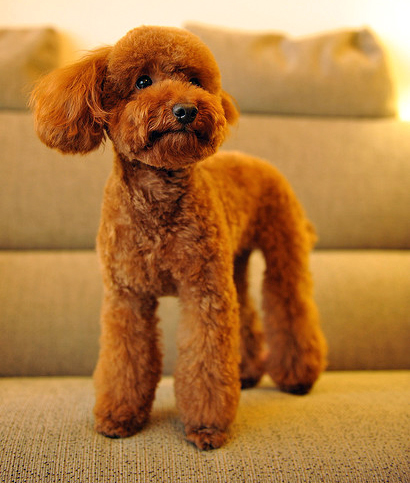 Designer Toy Dogs