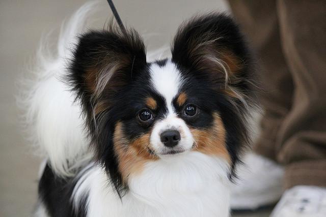 Papillon Hund Kaufen