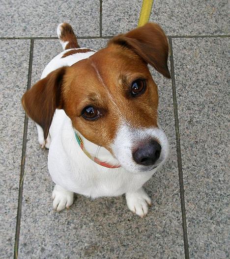 Jack Russell Terrier Charakter, Haltung & Pflege