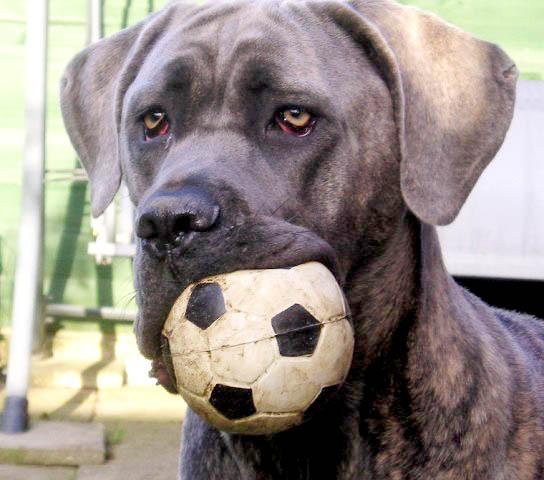 Resultado de imagen para Cane Corso Hund mit Spielzeug spielen