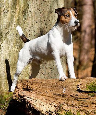 Kleinhund - Tierfreund | 392 x 466 jpeg 250kB