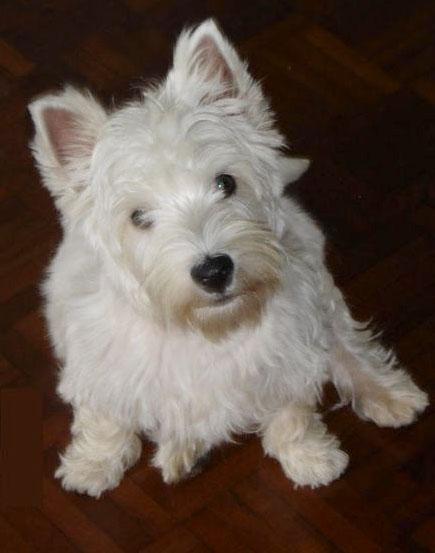 west highland white terrier rassebeschreibung wesen und haltung. Black Bedroom Furniture Sets. Home Design Ideas