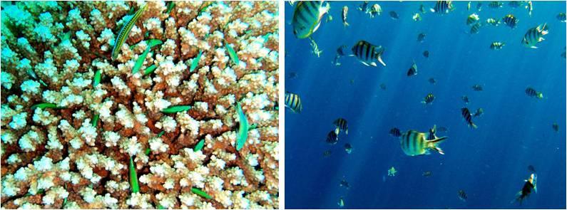Barsche am Korallenriff