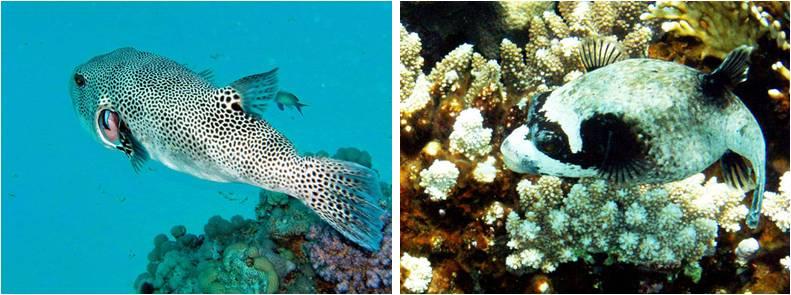 2 Kugelfische