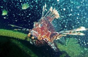 Feuerfische sind nachtaktiv