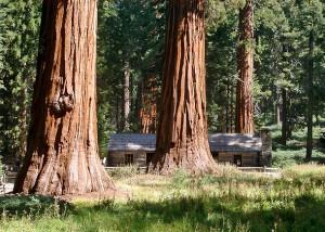 der größte, aber nicht der älteste Baum, ist Mammutbaum