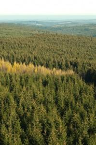 Fichtenwald im Sauerland