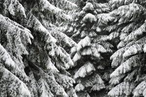 die biegsamen, leicht abwärts geneigten Äste verhindern Schneebruch