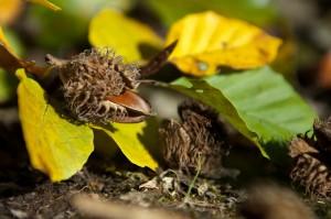 Bucheckern im Herbst