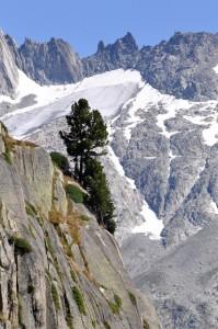 Kiefer in den Alpen: kaum ein anderer Baum würde hier oben im Fels überleben