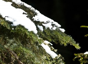 Weißtanne im Winter