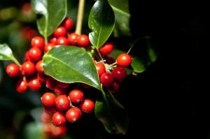 Beeren; Blätter weiter oben am Baum haben meist glatte Ränder
