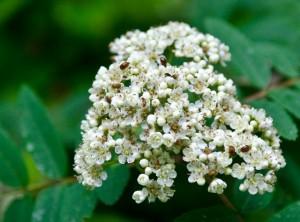 die Blüten sind auch bei Käfern beliebt