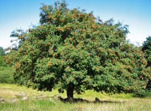 Eberesche mit reifen, roten Beeren