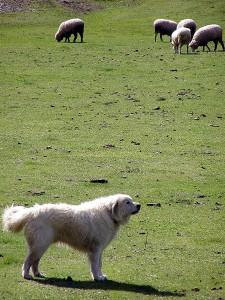 ein Herdenschutzhund imponiert schon alleine durch Anwesenheit