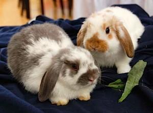 Kaninchen dürfen generell in Mietwohnungen gehalten werden