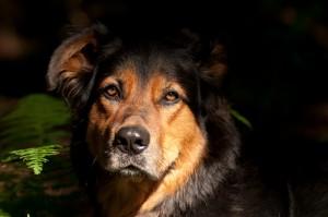 Eine Graue Schnauze und viel Gelassenheit - der Hund im Alter