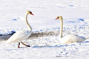 ein kleines Wunder: Vögel frieren am Eis nicht fest