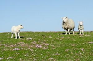 Schafe trifft man freilaufend fast überall in Schottland