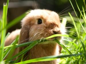 Auch auf Kaninchen können Menschen allergisch reagieren.