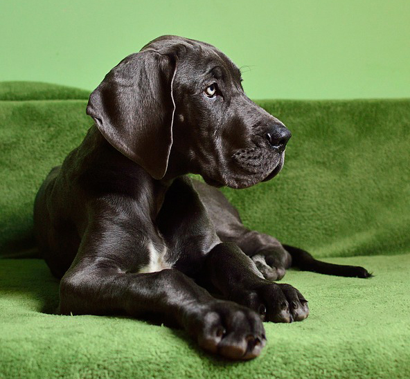 R Great Danes Smart Wobbler-Syndrom...