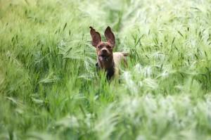Schadet Hunden Getreide?