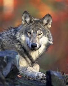 Hunde sind keine Wölfe mehr.