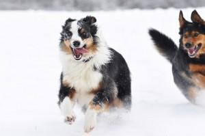 Viele Hunde lieben es, im Schnee zu toben.