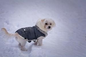 Hunde mit wenig Unterwolle können bei kalten Temperaturen einen Mantel brauchen.