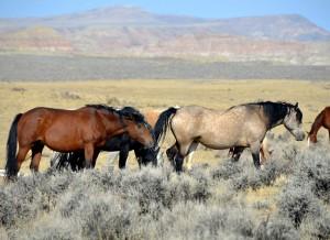 Mustangs üben eine besondere Faszination aus.