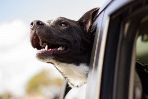 Hunde müssen während der Fahrt gesichert werden, sonst drohen hohe Strafen.