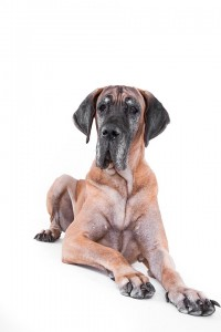 Sehr große Hunde altern schneller als kleine Hunde.