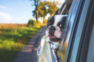 Hunde müssen bei Autofahrten gesichert werden.