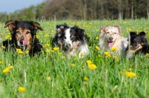 Mehrere Hunde zu führen, bedeutet vviel Verantwortung.