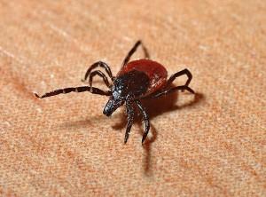 Zecken können sehr gefährliche Krankheiten übertragen.