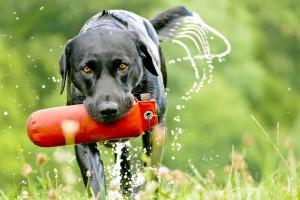 Der Labrador ist ursprünglich ein Apportierhund und insbesondere auch für die Wasserarbeit geeignetarbeit