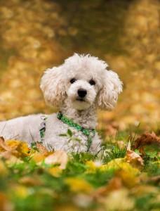Reinrassige Pudel sind aktive und lernwillige Hunde, die gerne eng mit ihrem Menschen zusammenarbeiten.