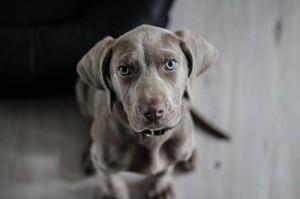 Kleiner grauer Hund blickt in die Kamera.